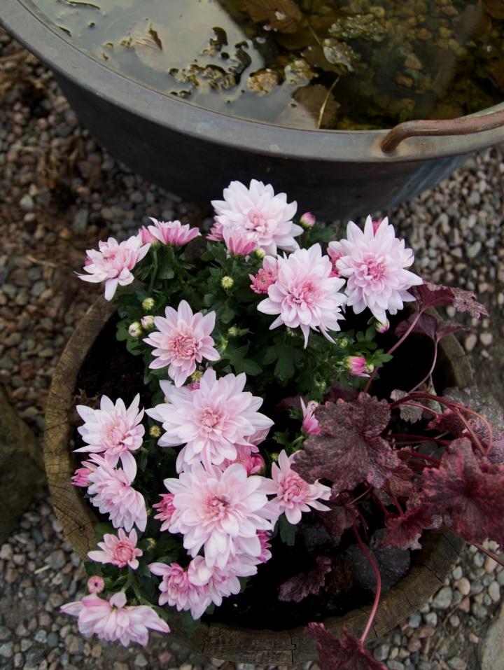 chrysantemum_alunrot6G8A8703