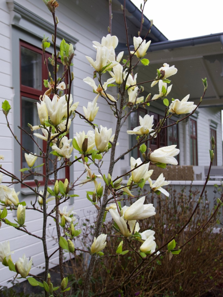 magnolia6G8A8869