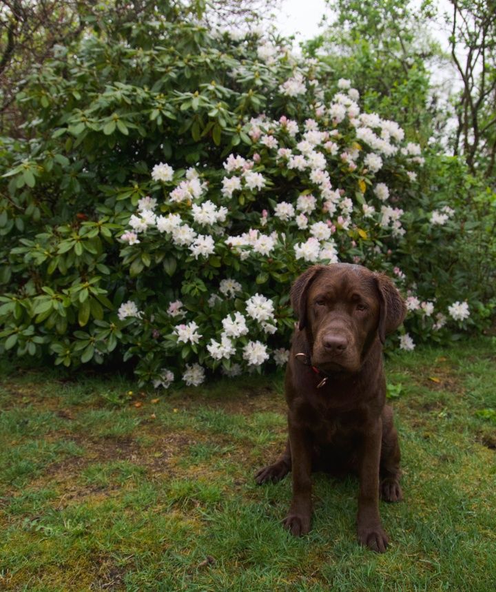 rhododendron_benny6G8A8866